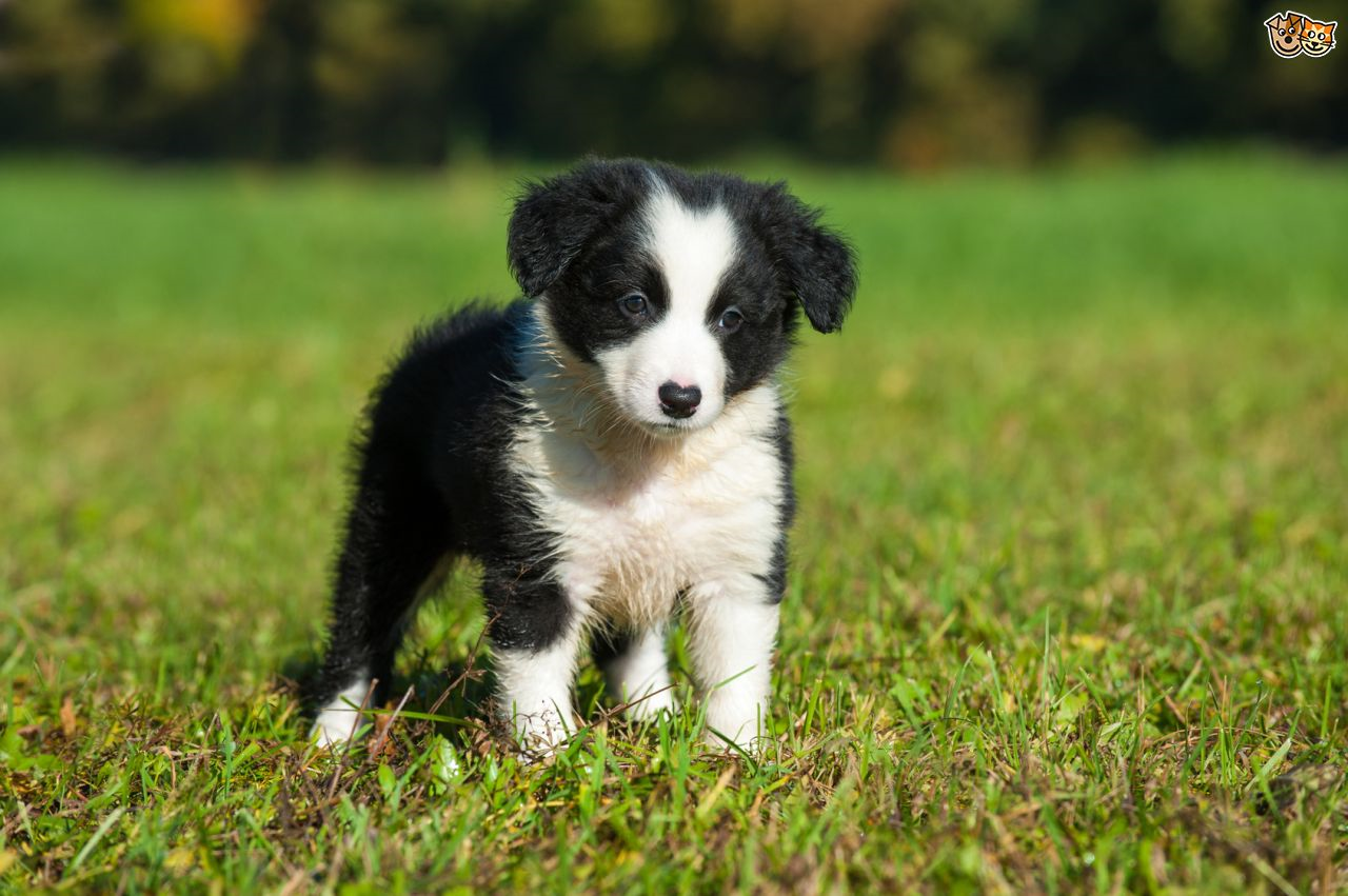 border collie 2019 national show restricted to breed dogs act