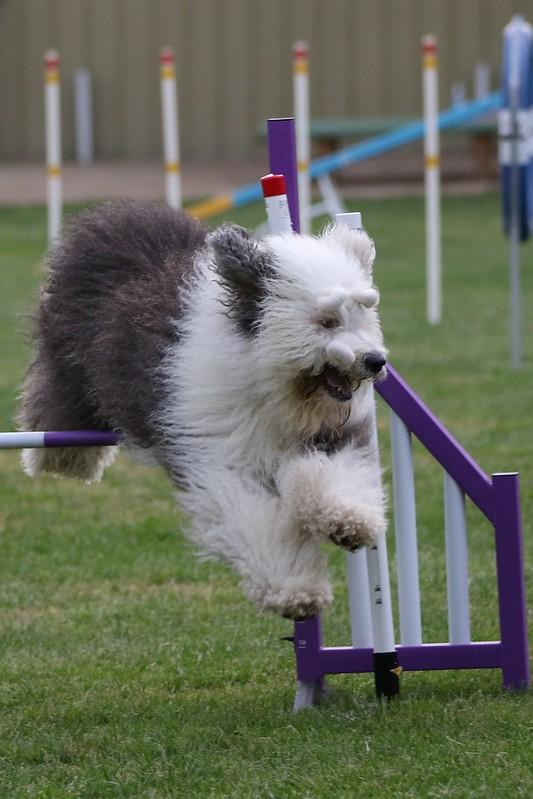 Dog jumping winged Jump